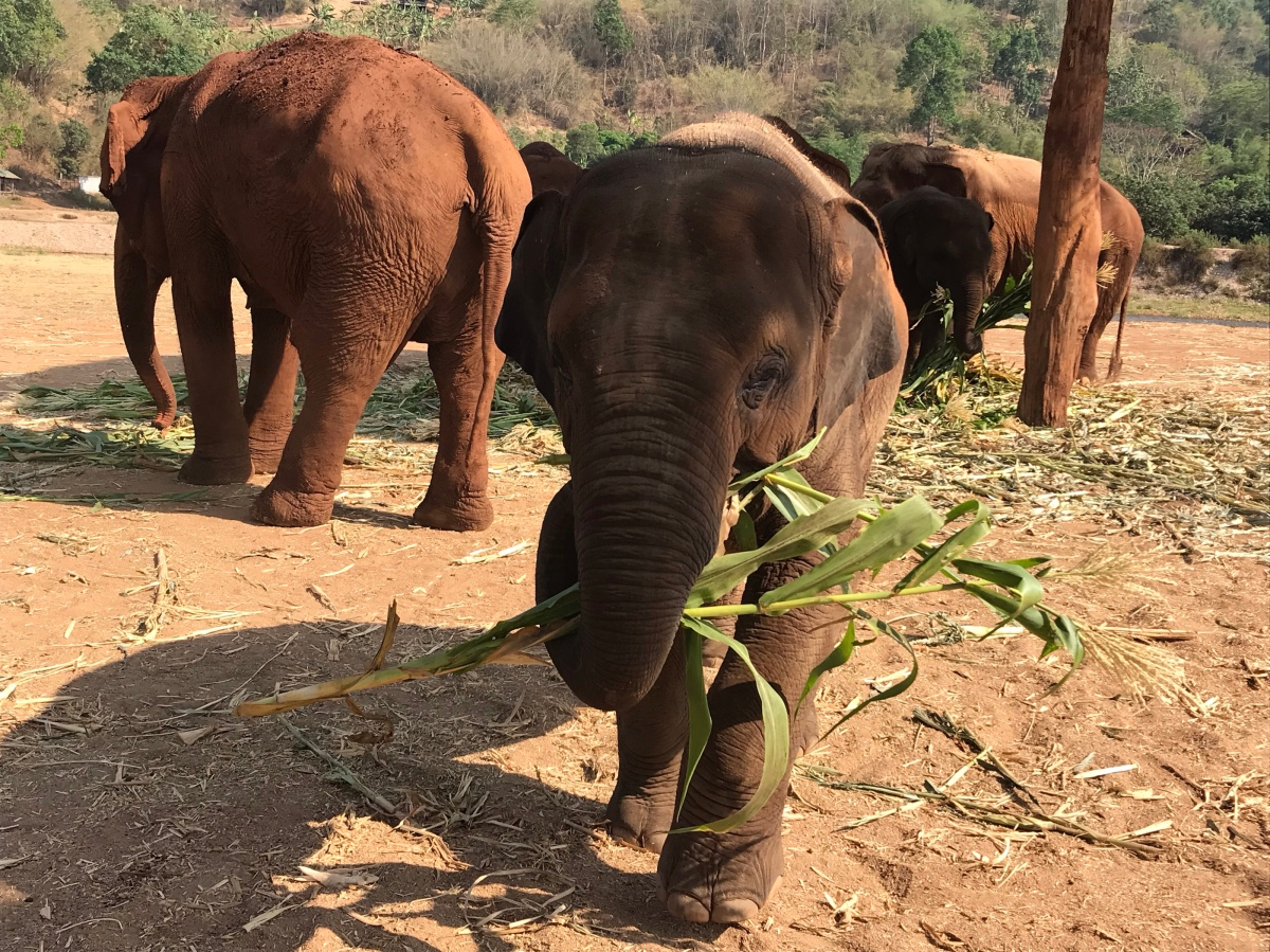 Chiang Mai–Our amazing experience at Elephant Nature Park! Pampering the Pachyderms!